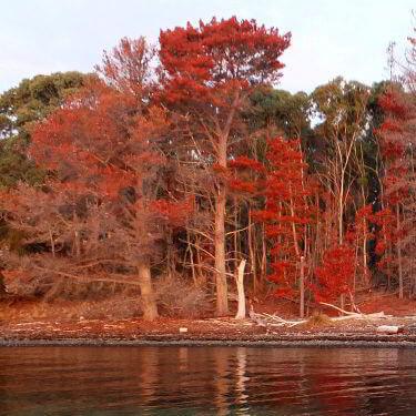 Pine tree eradication at Bruny Island Lodge.
