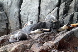 Group of fur seals relaxing on rocks