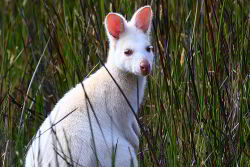 This white wallaby is an albino with white fur, pink ears, eyes and nose